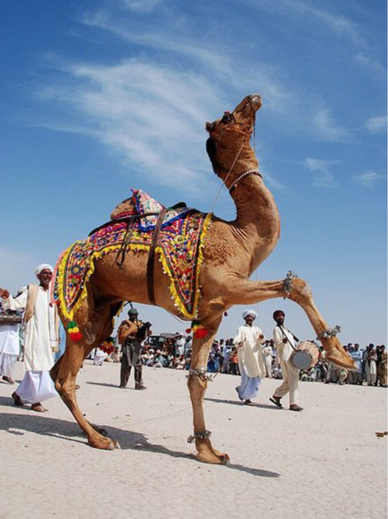 Camel Dance at annual Camel Festival - Punjab, Pakistan